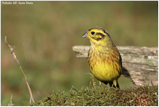 https://ailesetvie.blogspot.com/search/label/Bruant%20jaune%20-%20Emberiza%20hortulana