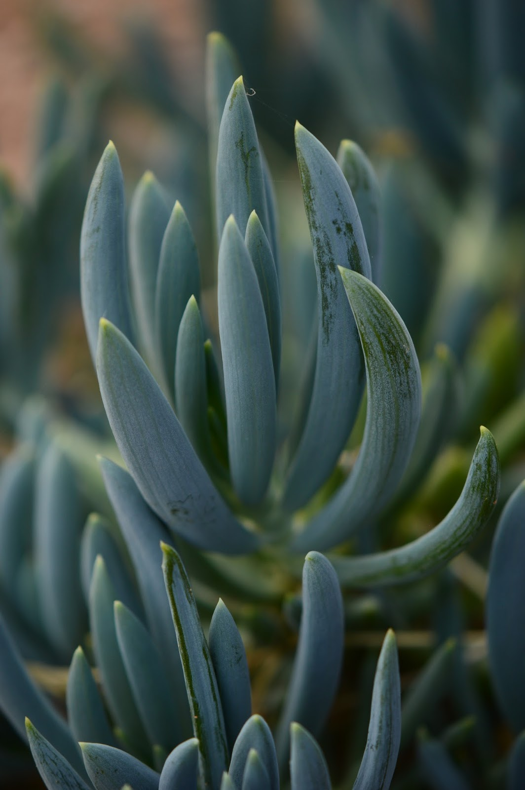 "Senecio ""Blue Fingers"""