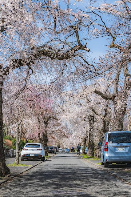 桜,垂れ桜,青空