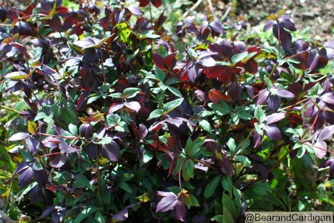 screen full of dark purple flowers and dark green leaves