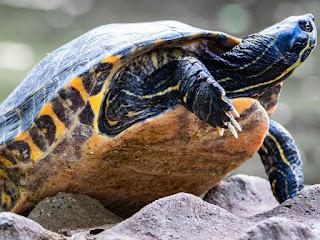 mengobati-penyakit-katarak-kura-kura.jpg