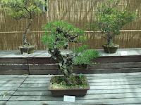 Japanese pine bonsai, Kyoto Botanical Gardens, Japan