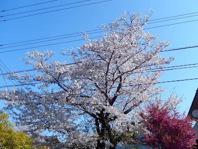 一条恵観山荘前の桜