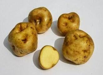 Canchan potato, Potatoes Peru, 3.000 varieties of potatoe, Peru and the potatoe native