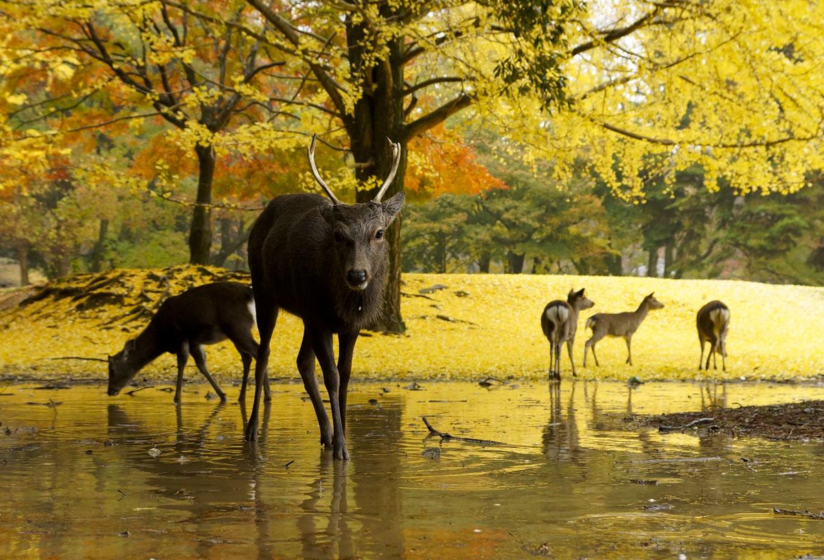 奈良の鹿の日本の景色の壁紙