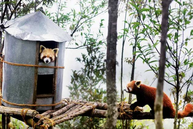 Red pandas at Topkeydara, Darjeeling
