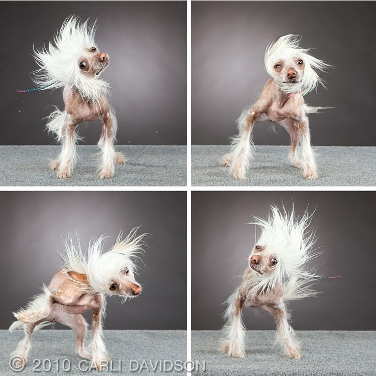 hairless dog caught in motion by carli davidson