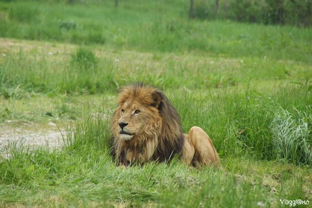 Il Leone è uno degli animali più affascinante del Parco Safari delle Langhe