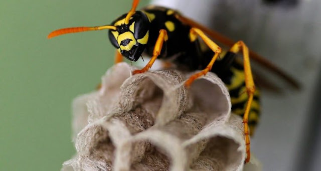 Certain species of wasps are able to recognize the faces of their congeners