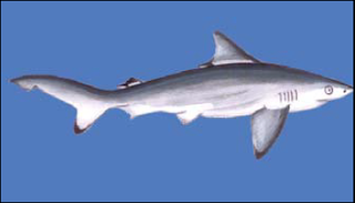 The Pondicherry Shark, Carcharhinus hemiodon