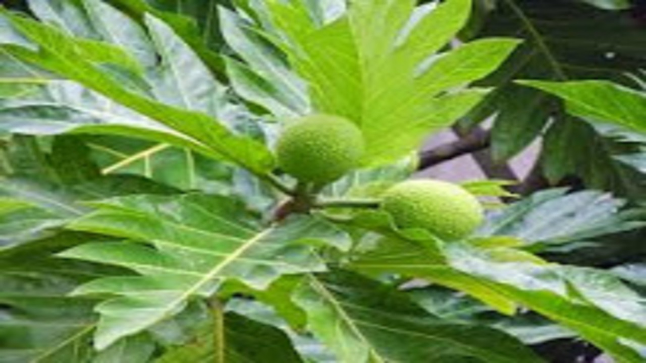 5 Benefits Of Breadfruit For Treatment You Need To Know