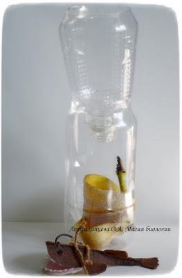 ловушка для мушек дрозофил, фрукты, поделка, удильщик, уксус