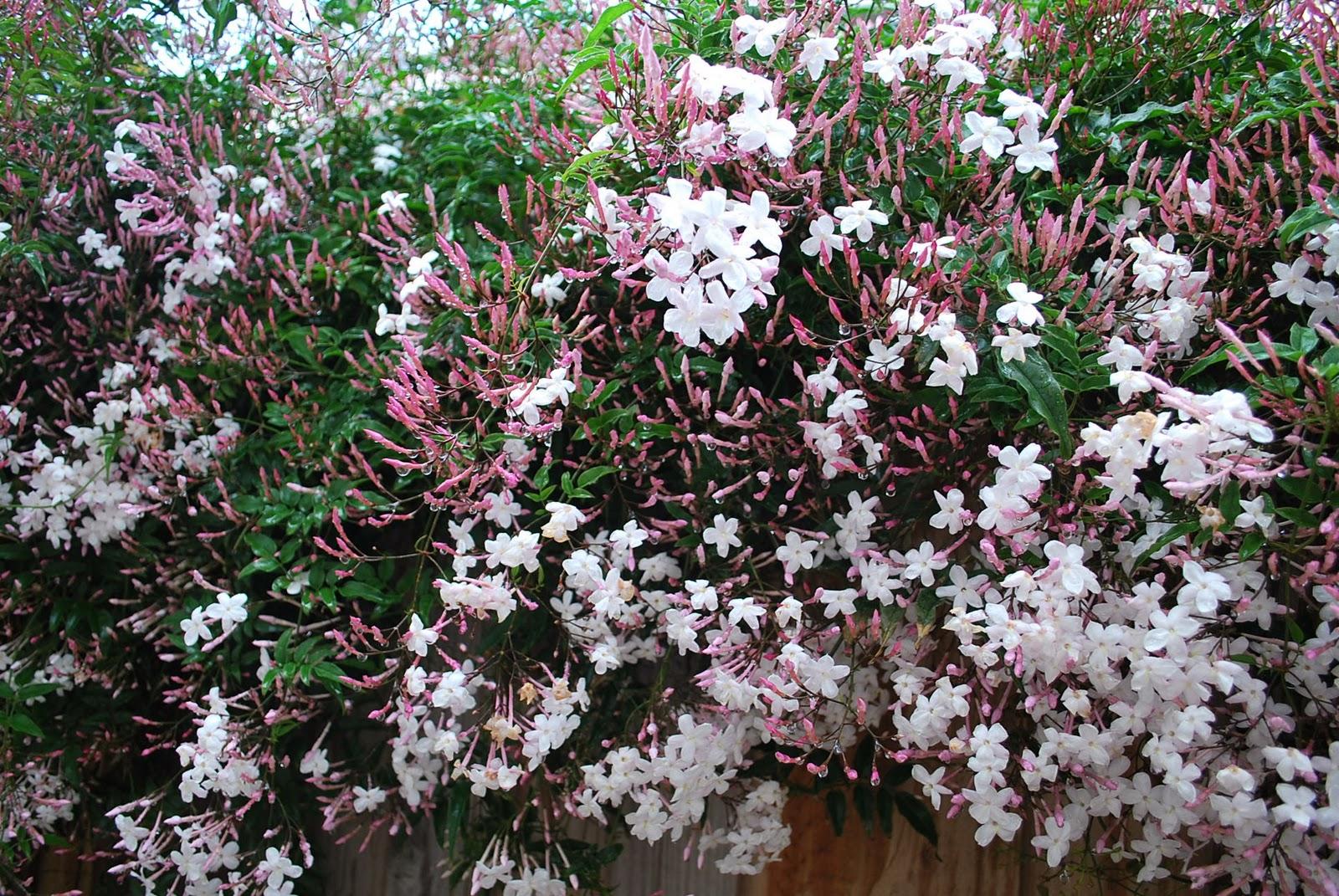 Jasmim, Planta Ornamental