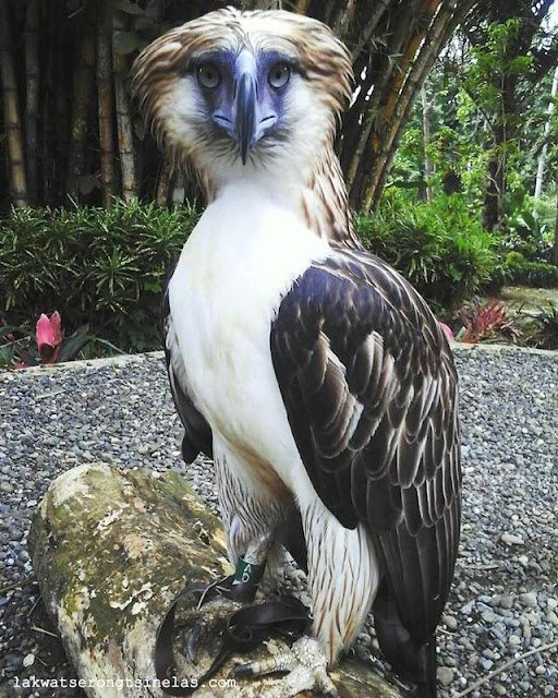"CEBU PACIFIC AIR ADOPTS THE PHILIPPINE EAGLE ""MINDANAO"""