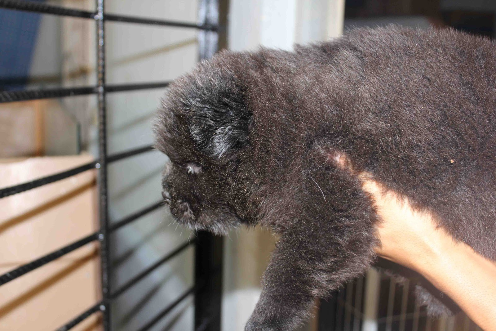 Royal Canin Puppy Food >> LovelyPuppy: Black Chow Chow Puppy WIth MKA Cert