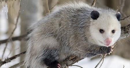 Spirit Symbols: Opossum