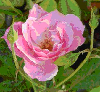 Gambar Mawar kampung