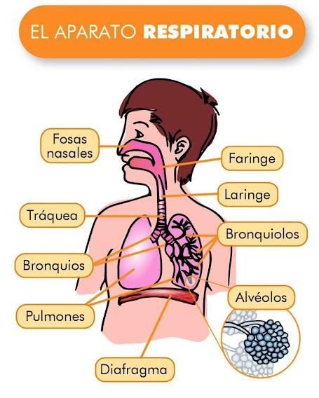 Planificación diaria: Aparato respiratorio. by Rutadegenios.com