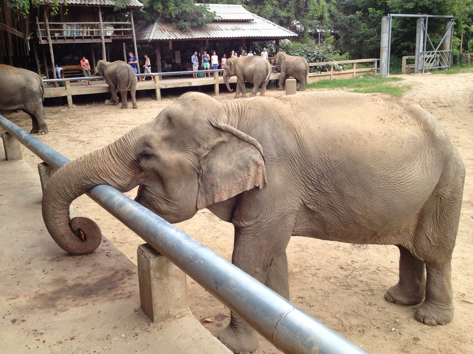 Chiang Mai - Elephants gathering at lunch time