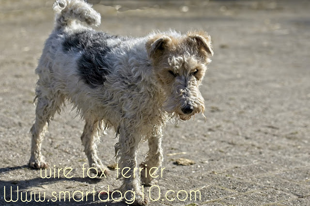 wire haired fox terrier for sale