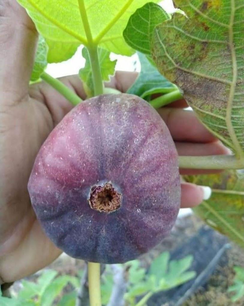 bibit buah tin super jumbo Sumatra Selatan