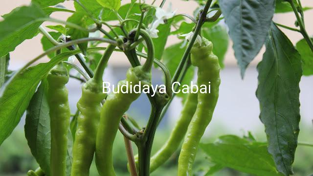Budidaya cabai
