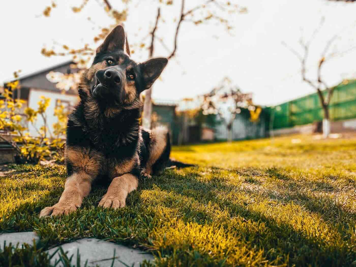 german shepherd lying on grass - how to choose the right dog breed for your family farm