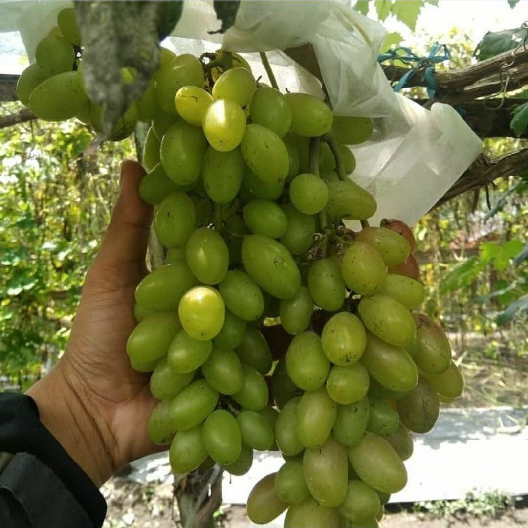 Melayani Eceran! Bibit Tanaman Buah Anggur Import Hijau Dixon Bibit Anggur Impor Dixon Kota Malang #jual bibit buah buahan