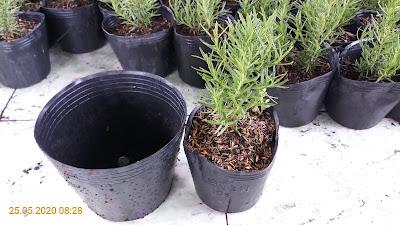 Cách chậu hương thảo được trồng từ chậu đk 10cm sang chậu đường kính 17cm