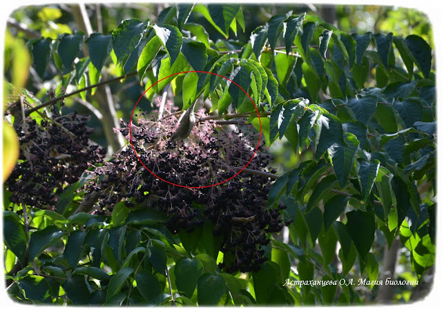 rasprostranenie-plodov-buzina-jagody-pticy-jendozoohorija