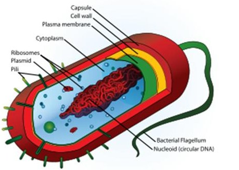 Pengertian Morfologi dan Struktur Bakteri