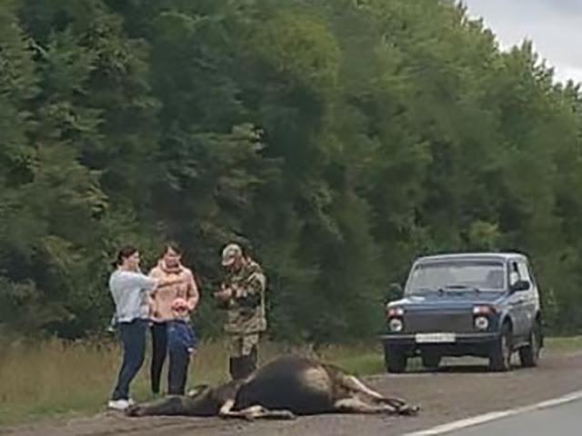 На трассе в Башкирии сбили лося: Видео