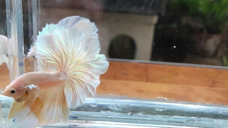 Image Dumbo Halfmoon Betta Fish