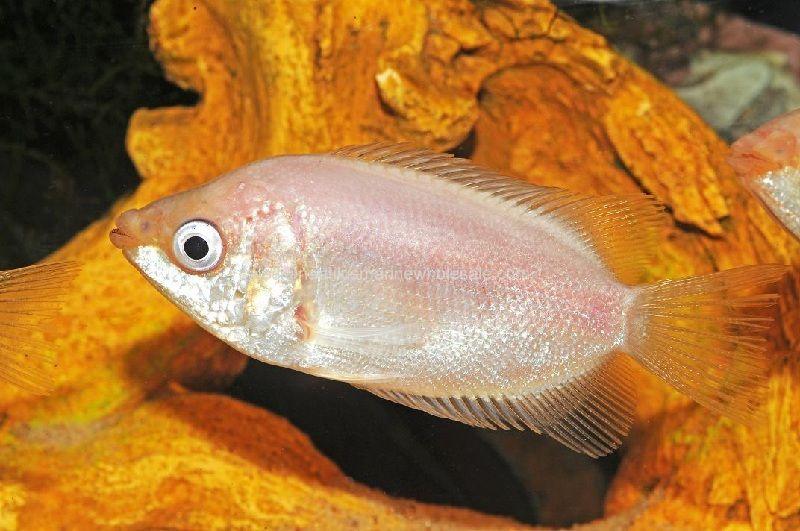 pembesaran ikan tembakang