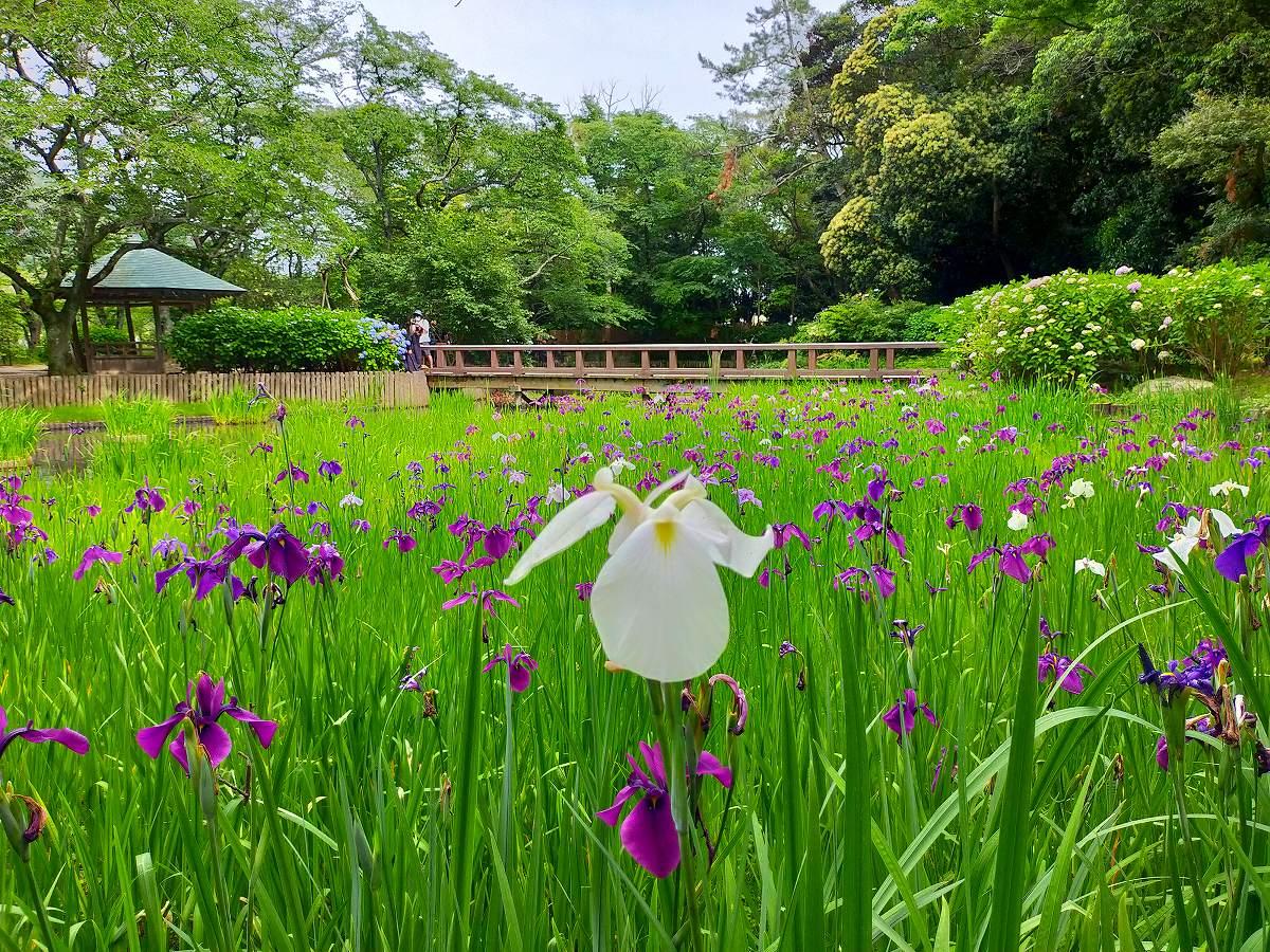 白い菖蒲の花をメインに。