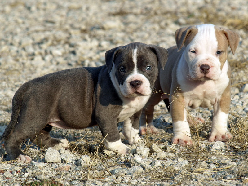 Cãominhando: Raça:American Pitbull Terrier