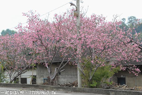 《台中.新社》2018新社粉紅富士櫻盛開-興社街、櫻木花道、大南坡,亮麗登場