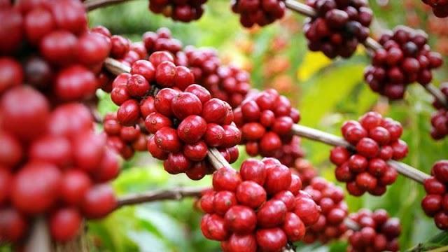 Giá cà phê hôm nay 19/8: Điều chỉnh tăng 300 đồng/kg