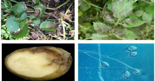 Potato diseases and their management