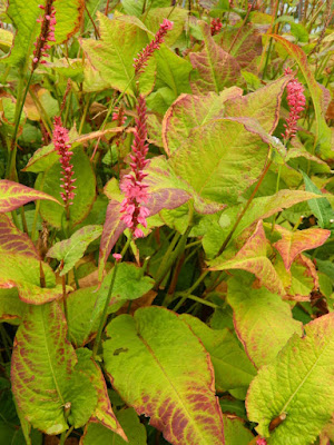 Persicaria amplexicaulis 'Firetail' Mountain Fleece at the Toronto Botanical Garden by garden muses-not another Toronto gardening blog