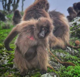 Galada, Ethiopia Hewan Langka yang Terancam Punah