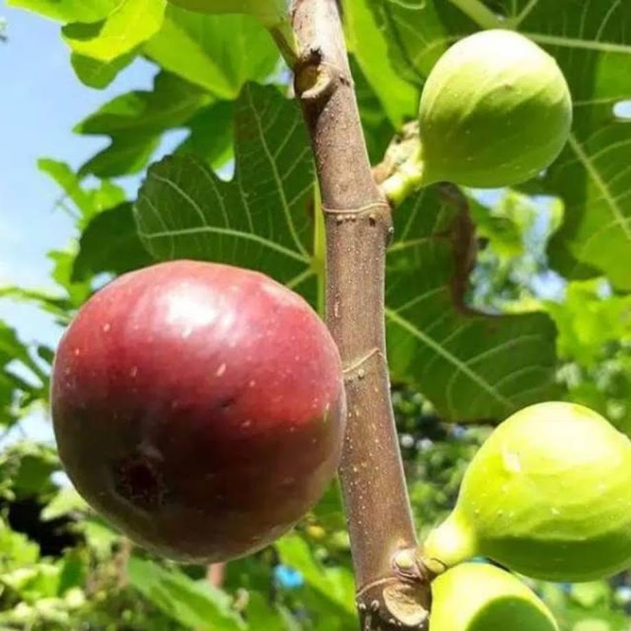 Bibit buah tin blue Giant Langsa
