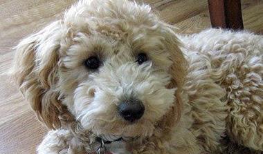 Bichon Frise Poodle mix (Poochon) Temperament, Size, Adoption, Lifespan