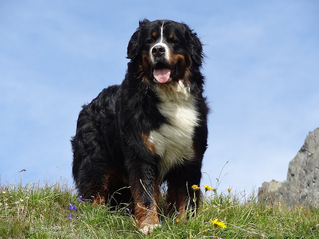 Bernese Mountain Dogs,Dog Breed