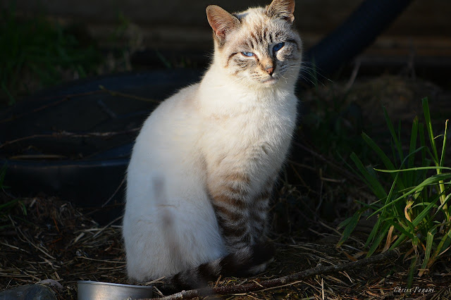 Siamese feral cat portrait photo