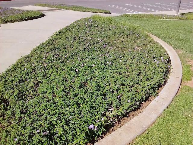 Mint flowerbed