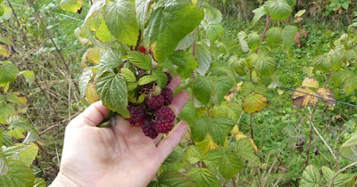Himbeeren - Herbsternte