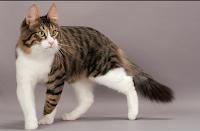 Menguak Rahasia Dan Sejarah Ras Kucing Anggora Bentuk Fisik Kucing Anggora