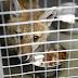 Intendencia de Montevideo devolverá tres zorros a su hábitat natural en campo de Lavalleja