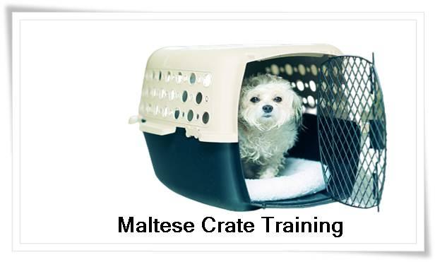 Maltese Training